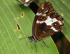Oxeoschistus leucospilos (hippobosca) Tags: insect lepidoptera butterfly ecuador macro satyridae satyr oxeoschistusleucospilos