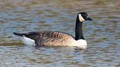 Handsome Canada Goose (markgosling94) Tags: nikon nature wildlife bird goose