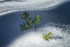 'Storytelling' (Canadapt) Tags: snow winter spruce tip shadow closeup keefer canadapt