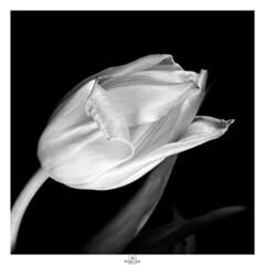 Gently flowing into space (claudiov958) Tags: biancoenero blancoynegro claudiovaldés černýabílý film kodaktmax100 largeformat noiretblanc pretoebranco rodinal150 sinarp blackwhite czarnyibiały schwarzundweiss черноеибелое ngc 4x5 tulip flower studio selfdeveloped sinaronws210mmf56