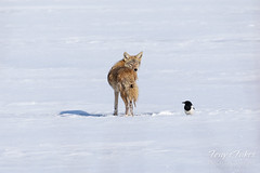 December 29, 2019 - A coyote and magpie look for a meal. (Tony's Takes)