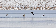December 29, 2019 - A coyote chases bald eagles. (Tony's Takes)