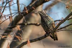 Étourneau sansonnet (jean-louis21) Tags: oiseaux étourneau sansonnet bird