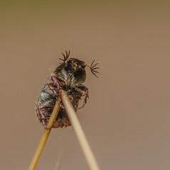 Scarab beetle (m&em2009) Tags: scarab beetle bug insect nature nikon d7000 camera lens 60mm macro close up