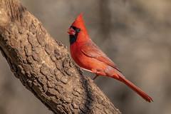 Northern Cardinal male (Lynn Tweedie) Tags: wood bokeh beak tail northerncardinal wing canon ngc animal male missouri bird 5dmarkiv eye ef400mm56lusm eos feathers tree branch