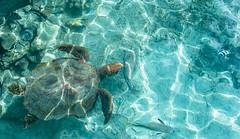 Turtle sanctuary, Huahine (holecem) Tags: turtle ocean sanctuary tour boat frenchpolynesia huahine summer paradise holiday animal blue