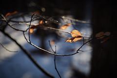 with trees, between branches and leaves, Somers, WI, 1-1-20 1 (wbhmatthies) Tags: with trees leaves branches light snow trunks photopoem series panasonic panasonics1 gcs1 captureonepro20 wilhelmmatthies