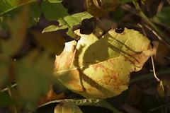 В осеннем свете / In autumn light (Владимир-61) Tags: осень октябрь природа лист листва трава autumn october nature feaf leaves foliage fall light sony ilca68 sony1855dtsamii