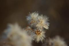 Пушистый октябрь / Furry october (7) (Владимир-61) Tags: осень октябрь природа растения autumn october nature plants fall sony ilca68 minolta75300