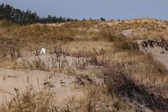 Snowy Owl in the dunes (sparverius81) Tags: plumisland nationalwildliferefuge publiclands nature naturaleza outside outdoors winter invierno landscape paisaje paisajem birds aves pájaros passaros buho strigidae hedwig dunes buboscandiacus