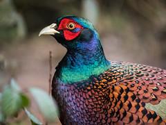 Happy New Year! (Maria-H) Tags: pheasant phasianuscolchicus male martinmere burscough lancashire uk olympus omdem1markii panasonic 100400