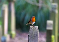Robin in the Howff Graveyard (eric robb niven) Tags: ericrobbniven scotland wildlife nature springwatch dundee walking robin wildbird