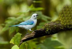 0P7A0840   Blue-gray Tanager, Ecuador (ashahmtl) Tags: bluegraytanager bird tanager songbird thraupisepiscopus santadeo pichinchaprovince ecuador