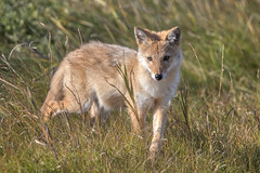 Coyote pup (Peter Stahl Photography) Tags: coyote pup juvenile