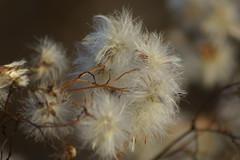 Пушистый октябрь / Furry october (6) (Владимир-61) Tags: осень октябрь природа растения autumn october nature plants sony ilca68 minolta75300