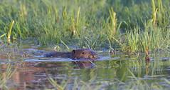 Eurasian Beaver (KHR Images) Tags: eurasianbeaver eurasian beaver castorfiber wild mammal rodent perthshire scotland wildlife nature nikon d500 kevinrobson khrimages