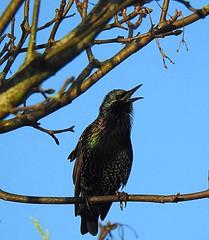 Starling calling (TomIestyn) Tags: tree bird sky blue branches starling sturnusvulgaris northernireland estornino létourneausansonnet