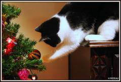 La tentation est trop forte ! (Les photos de LN) Tags: chat cat noël sapin décoration boules guirlandes jeux lumières fête cc100
