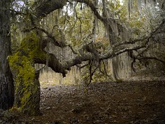 Live Oak (surfcaster9) Tags: oaktree shadows outside spanishmoss lumixg7 lowkey micro43 lumix25mmf17asph forest florida outdoors woods
