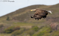 Sea Eagle-(mull) (KJB Photography.) Tags: scottish wildlife nature bird prey white tailed sea eagle hunt catch loch mull charters highland