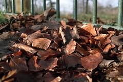dry leaves (metamodule) Tags: foveon sigmadp2 winter beech
