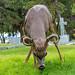 1909_1743 Coast Blacktail Deer
