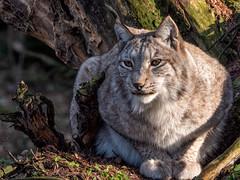 Lynx / Luchs (berndkru) Tags: leicadg50200f2840 panasonicdcg9 poing wildpark wildlifepark lynx luchs tiere animals