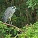 Yellow-crowned Night-Heron 20200103