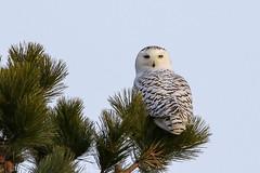 Snowy Owl (Bubo scandiacus) (sparverius81) Tags: plumisland nationalwildliferefuge publiclands nature naturaleza outside outdoors winter invierno birds aves pájaros passaros buho strigidae hedwig dunes