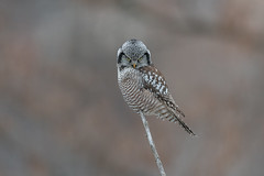 Northern Hawk Owl (Joe Branco) Tags: green ontario canada branco photoshop joe lightroom macro nature grass northernhawkowl wildlifephotography joebrancophotography