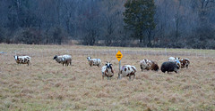 Culvert Ahead-HFF (☼☼ Jo Zimny Photos☼☼) Tags: fencedfriday goats signculvertahead field herd fence behind forest