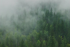 Early Morning Mist (SNAPShots by Patrick J. Whitfield) Tags: plant summer light detail dof trees wild life outside nature fog green lines details britishcolumbia canadianrockies bc rain wet cloudy landscapes patterns texture gloomy eerie