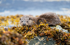 Otter (Chas Moonie-Wild Photography) Tags: otter wild loch sea scotland mammal cub
