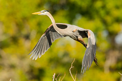 He's off (ChicagoBob46) Tags: greatblueheron blueheron heron bird veniceareaaudubonrookery rookery florida nature wildlife coth5 ngc sunrays5 npc naturethroughthelens