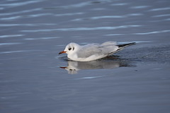 Black headed gull (Deanne Wildsmith) Tags: gull blackheadedgull bird waterbird staffordshire bartonmarina