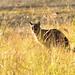 Bobcat large male 05-20200103