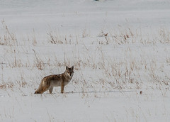 Yellowstone Coyote (Kim Tashjian) Tags: coyote yellowstone wildlife yellowstonenationalpark wyoming