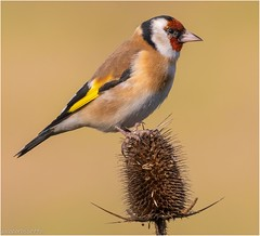 Cardellino, Carduelis carduelis, Goldfinch. (jacoporossetto1) Tags: goldfinch birds nature