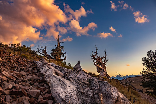 Summer Sunset at The Ancient Bristlecone Pine Forest