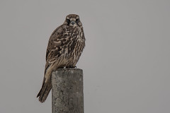 Saker Falcon in the wild (Tim Melling) Tags: falco cherrug milvipes saker falcon wild juvenile tibetan plateau sichuan china timmelling