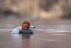 Redhead in a pond (rmikulec) Tags: redhead birding nature ornithology animal birds sony sonyimages water pond lake ontario humber bay
