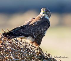 No fear (Ted Humphreys Nature) Tags: buzzard raptor predator birdofprey lancashire england tedhumphreysnature