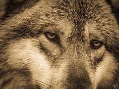 THE FRIEND (eliewolfphotography) Tags: eyes explore conservation wildlife nature animals wolves wolf
