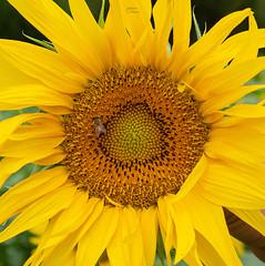 Nel dettaglio (fedech_) Tags: sony sonyalpha sonya7 flowers nature fiori yellow giallo bee ape zeiss zeisscameralenses beauty bellezza brasile brazil