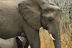 Elephants in South Africa (` Toshio ') Tags: toshio krugernationalpark southafrica africa mom baby elephant elephants africanelephant safari nature wildlife canon7d canon 7d tusk trunk
