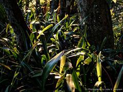 Sunrise over bromeliads (Julie V. Simpson Photographer) Tags: green trees leaves nature shadows naturalworld instadaily instagram instanature naturephotography naturelovers natureza natureperfection newzealand garden ferns nzbush sunriseshine