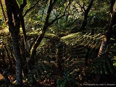 Our bush sunrise shine (Julie V. Simpson Photographer) Tags: green trees leaves nature shadows naturalworld instadaily instagram instanature naturephotography naturelovers natureza natureperfection newzealand garden ferns nzbush sunriseshine