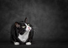 Mr. Mistoffelees (cindiefearnall) Tags: cat tuxedocat petportrait petphotography pet feline studioportrait studiolighting cindiefearnall blackandwhite furbaby