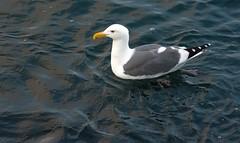 Western Gull (parmrussrap) Tags: shorebirds birds ocean oceanic coastal gulls ornithology pacific swimming floating