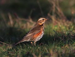 Redwing (Cal Killikelly) Tags: redwing winter thrush dee estuary nature bird wildlife wirral cheshire north west uk